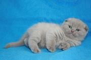 Шотландского вислоухого котенка лилового окраса