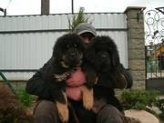 тибетского мастиффа  щенки